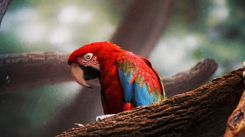parrot photo of red and blue bird person on brown tree branch macaw