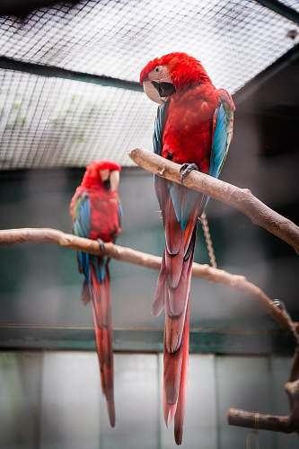 macaw photography of two red, blue, and green macaw parrot