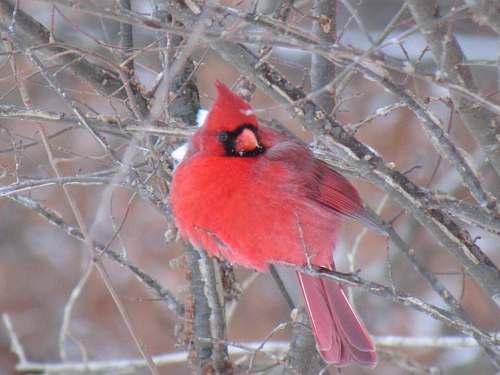 cardinal red cardinal bird on bare tree branch during daytime animal