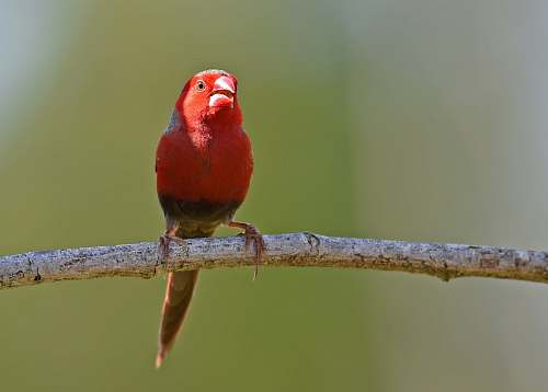 animal shallow focus photography of red bird on brown stick finch