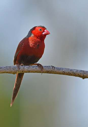 animal shallow focus photography of red cardinal bird australia