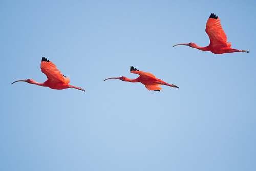 flamingo three flying flamingos animal