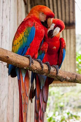 animal two red parrots on stick parrot