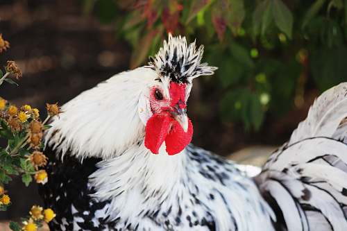 chicken white and black rooster and rooster animal