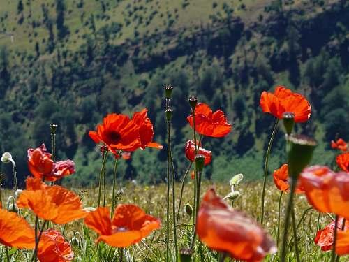 flora orange poppy flowers blooming at daytime poppy