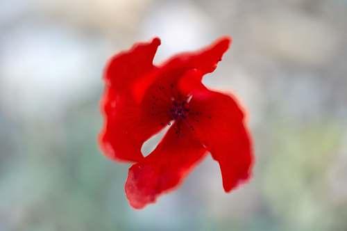 flower red flower in bloom geranium