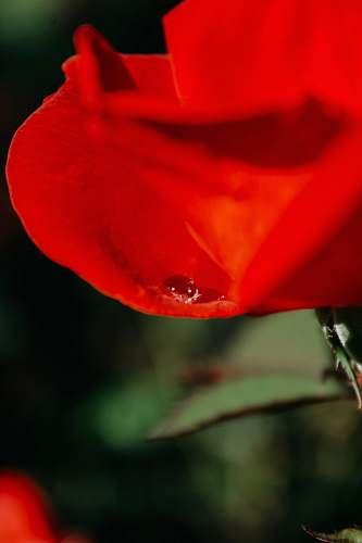 plant red petaled flower flower