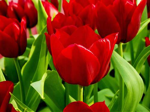 flower red petaled flowers plant