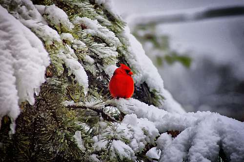 bird red cardigan bird animal