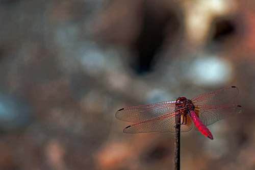 insect red dragonfly during daytime animal