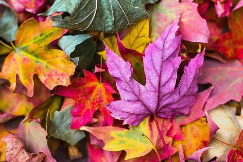 autumn flat lay photography of purple and red leaves leaf