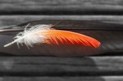 bird closeup photography of two black and white and orange feathers red