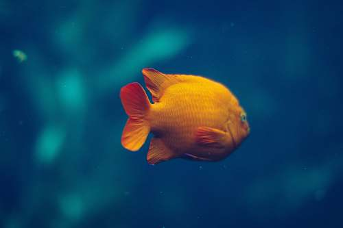 animal gold fish monterey bay aquarium