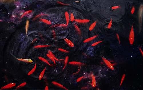 animal school of red fish koi