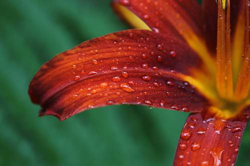 flower micro photography of water dew on red petaled flower lily