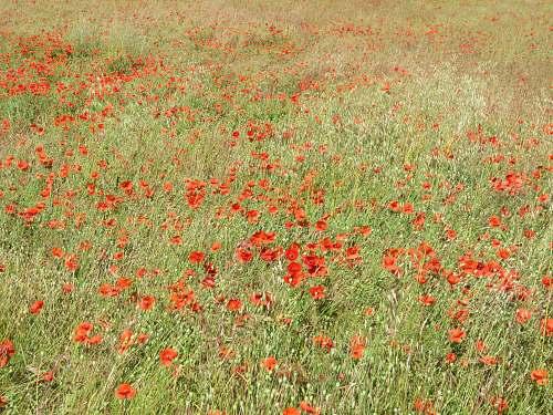 poppy bed of red poppy flower blossom