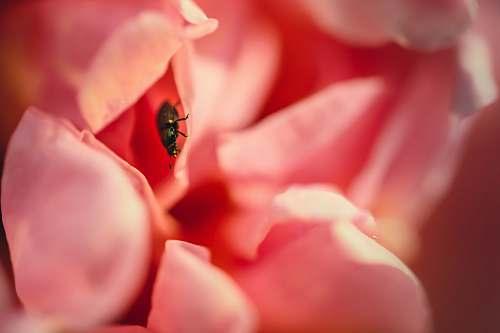 petal black bug perched on pink flower blossom