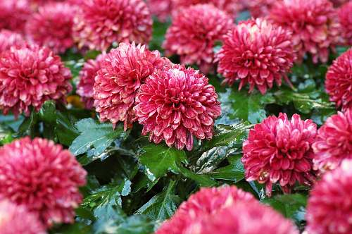 blossom blooming red petaled flowers plant