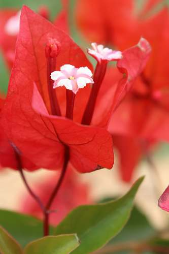 plant close-up photography of red and white petaled flowers during daytime blossom