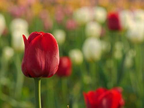 plant closeup photo of red tulips tulip