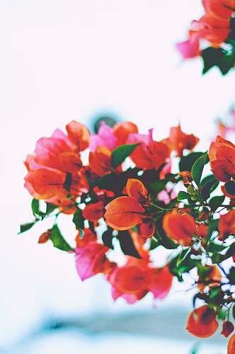 floral closeup photography of orange bougainvillea flowers nature