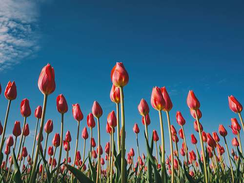 tulip landscape photography of red tulips blossom