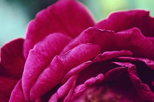 flora macro photography of red petaled flower pink