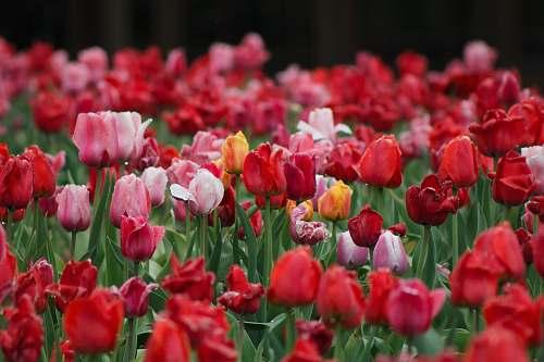 blossom pink flower plants tulip