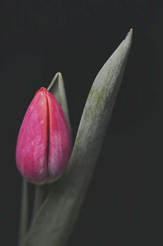 plant pink tulip flower blossom