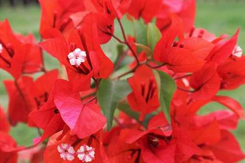 geranium red bougainvillea flower blossom
