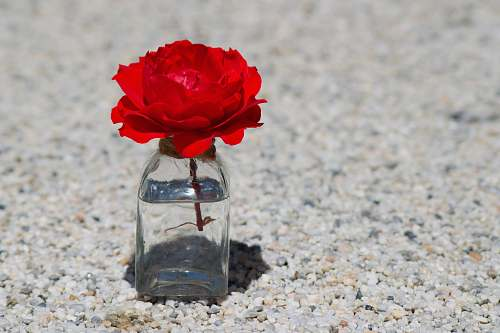plant red flower in clear glass jar rose