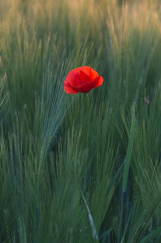 poppy red flower in the middle of green grasses blossom