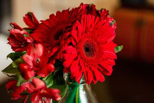 plant red flowers daisy