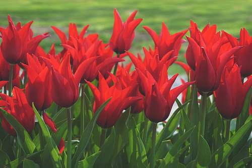 plant red flowers with green leaves tulip