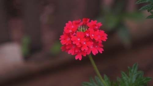 blossom red petaled flower geranium