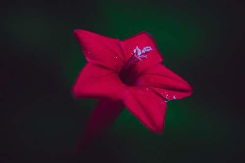 plant red petaled flower petal