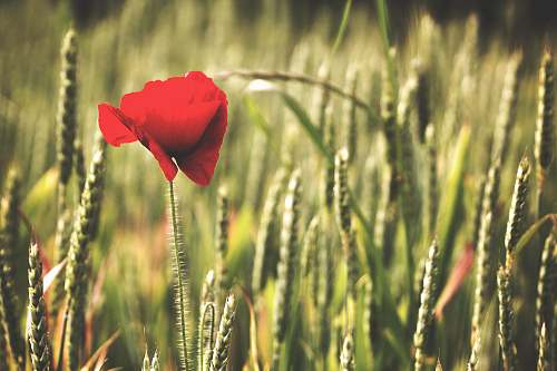 photo poppy red petaled flower plant free for commercial use images