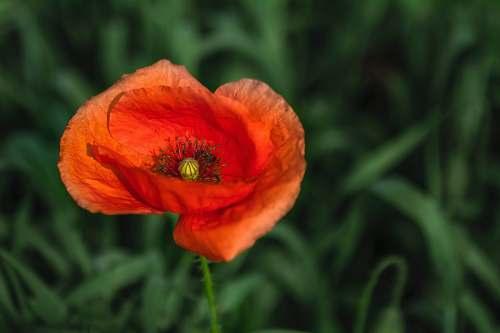 poppy red poppy flower blossom