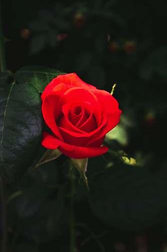 blossom red rose rose
