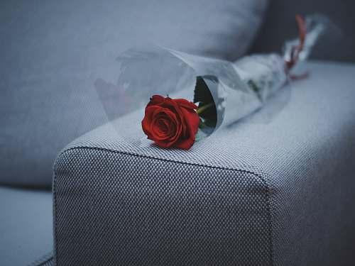 rose red rose flower on gray fabric sofa blossom