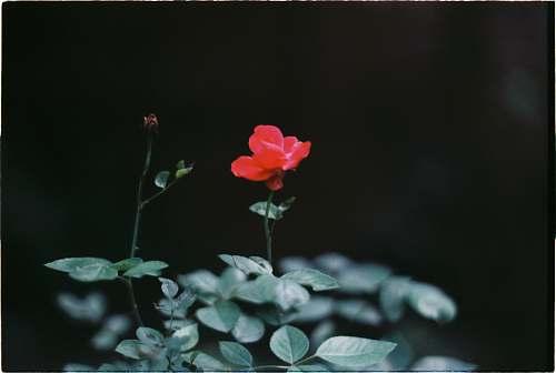 plant red rose flower blossom