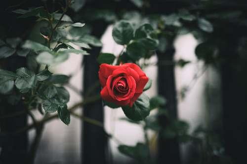 rose red rose flora