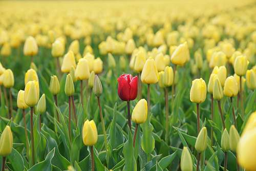 photo flora red tulip flower in yellow tulip field tulip free for commercial use images