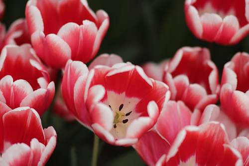 plant red tulip flower blossom