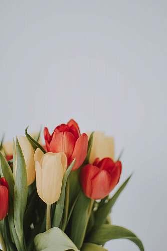 plant red tulips tulip