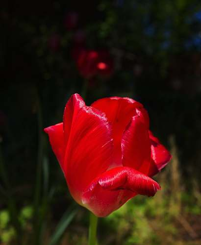 photo plant selected focus red tulip blossom free for commercial use images