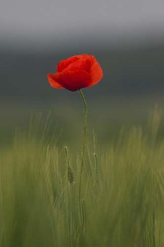 blossom selective focus of common poppy flower poppy