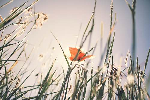 grass selective focus photo of orange petaled flower surrounded by grass poppy