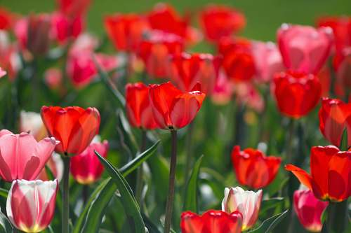 photo tulip selective focus photography of red flowers blossom free for commercial use images
