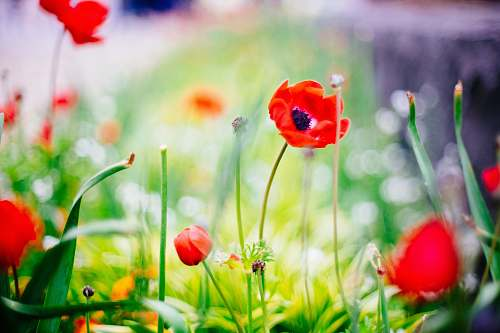 poppy selective focus photography of red petaled flower yokohama